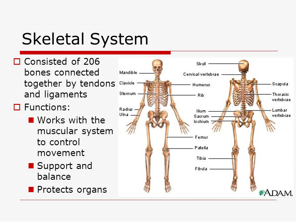 Skeletal System Consisted of 206 bones connected together by tendons and ligaments. Functions: Works with the muscular system to control movement.