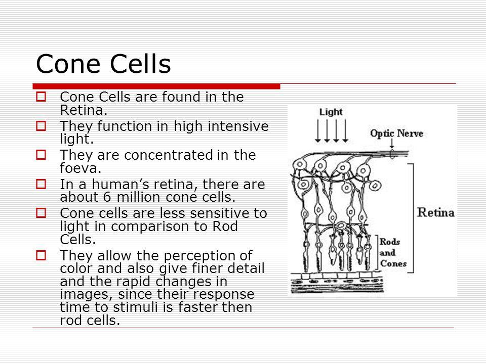 Cone Cells Cone Cells are found in the Retina.