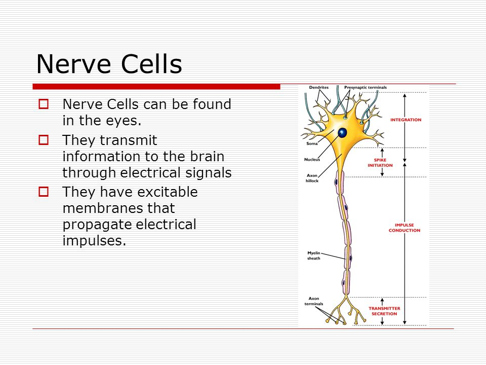 Nerve Cells Nerve Cells can be found in the eyes.
