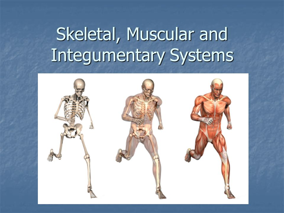 skeletal muscular and integumentary system The muscular system contributes to maintaining homeostasis by working with other body systems to regulate body temperature and dilate or constrict blood vessels close to the skin's surface, according to opencurriculum the muscular, nervous, cardiovascular, endocrine and integumentary systems work.