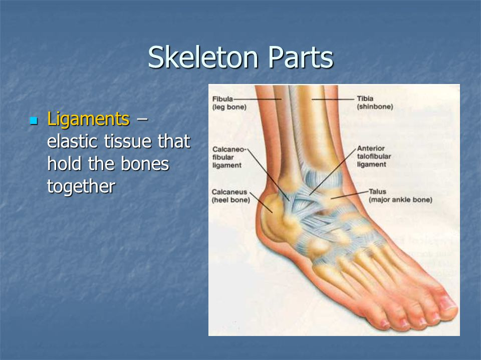 Skeleton Parts Ligaments – elastic tissue that hold the bones together
