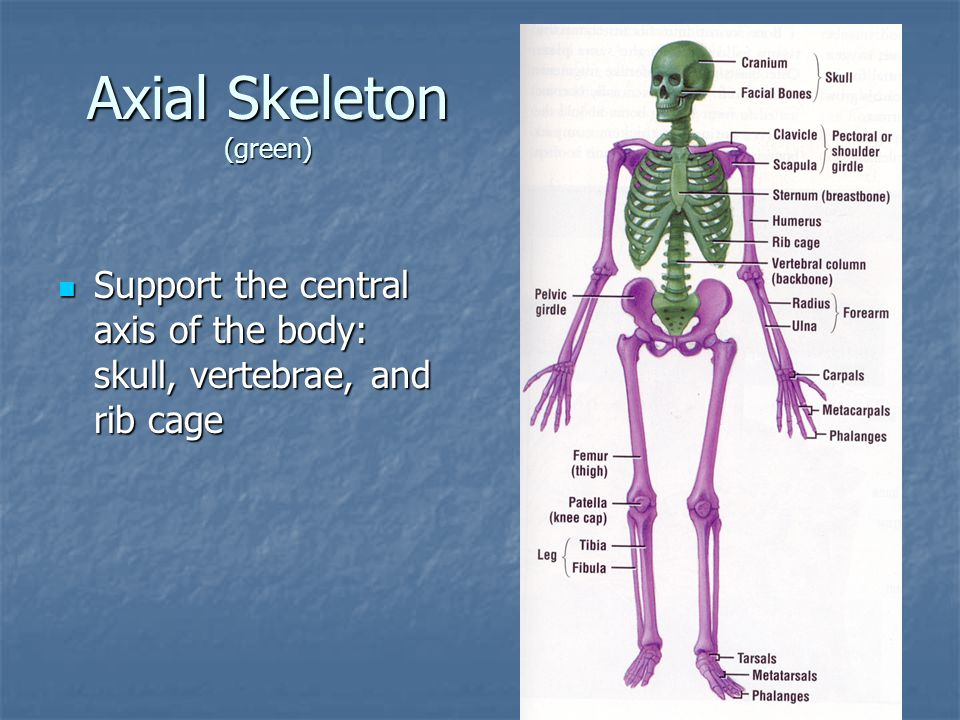 Axial Skeleton (green)