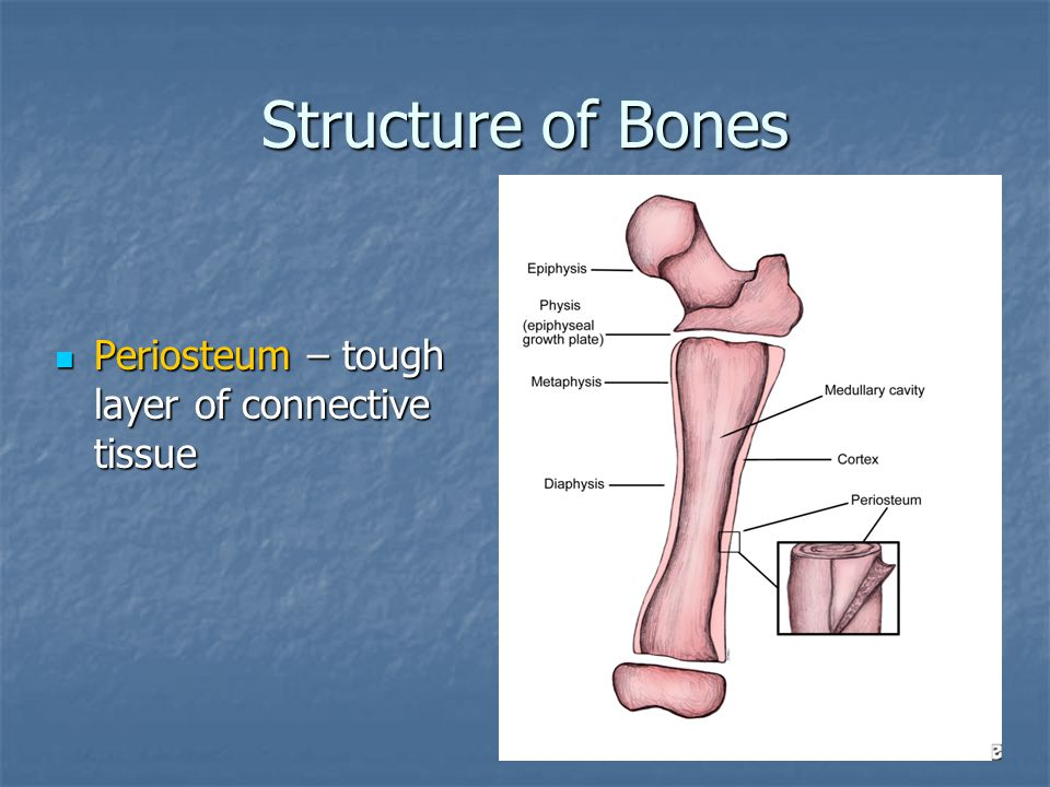 Structure of Bones Periosteum – tough layer of connective tissue