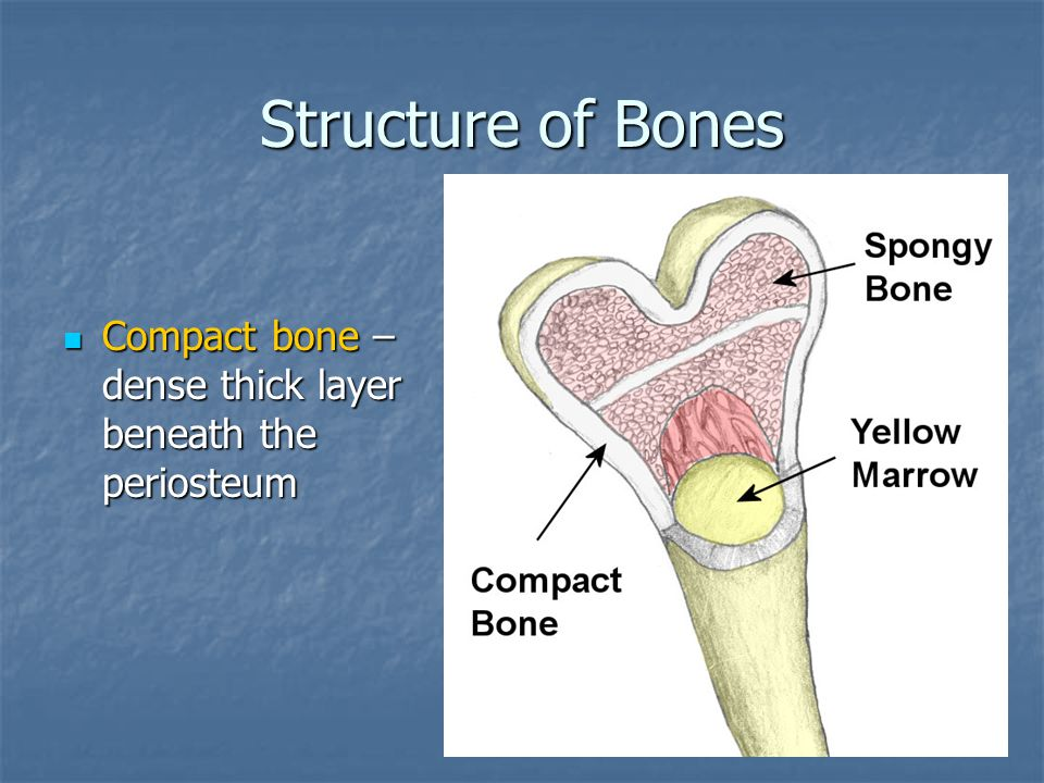 Structure of Bones Compact bone – dense thick layer beneath the periosteum