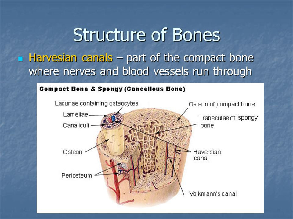 Structure of Bones Harvesian canals – part of the compact bone where nerves and blood vessels run through.