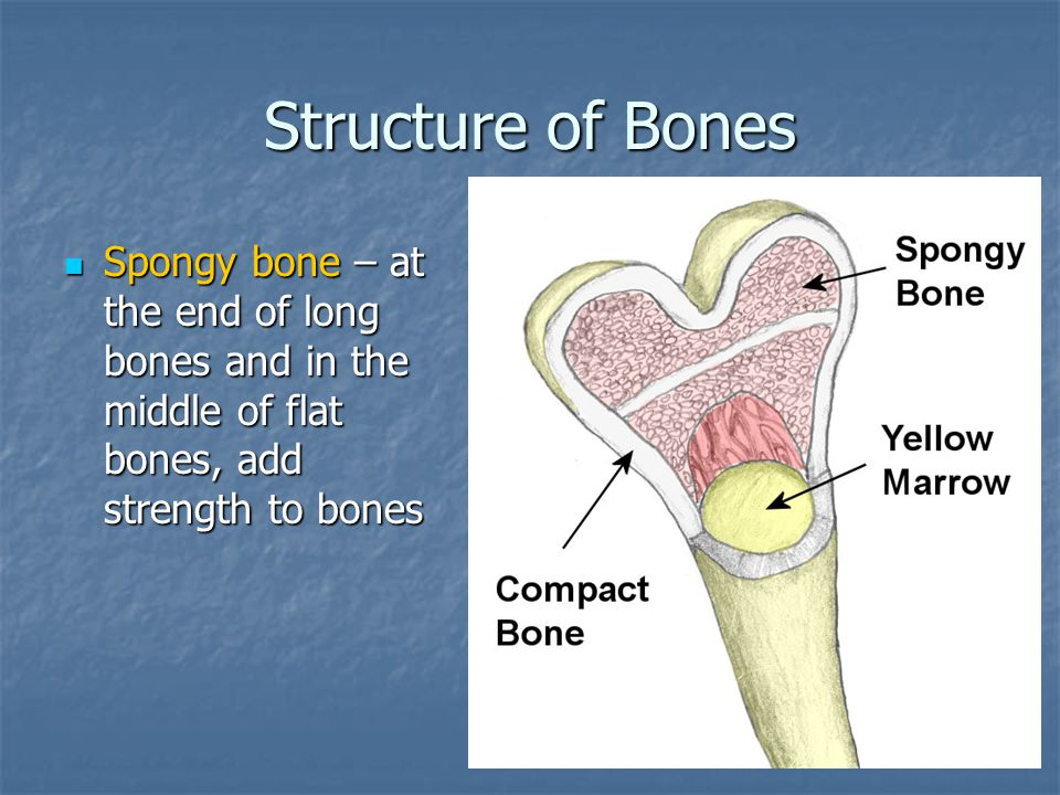 Structure of Bones Spongy bone – at the end of long bones and in the middle of flat bones, add strength to bones.
