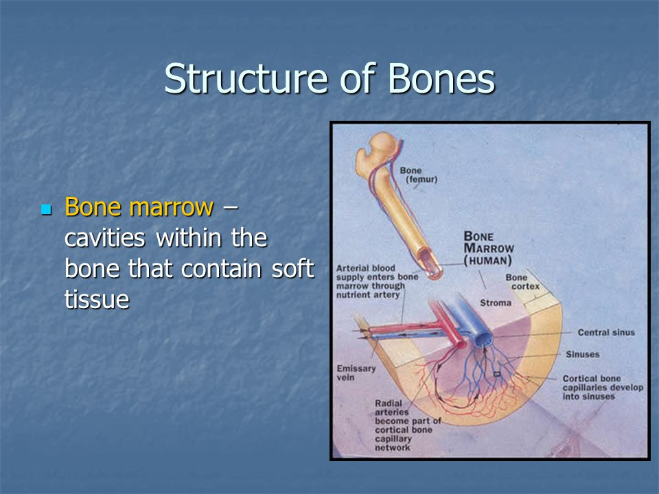 Structure of Bones Bone marrow – cavities within the bone that contain soft tissue