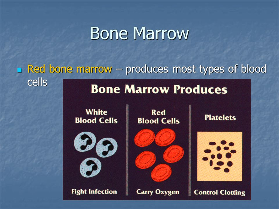 Bone Marrow Red bone marrow – produces most types of blood cells