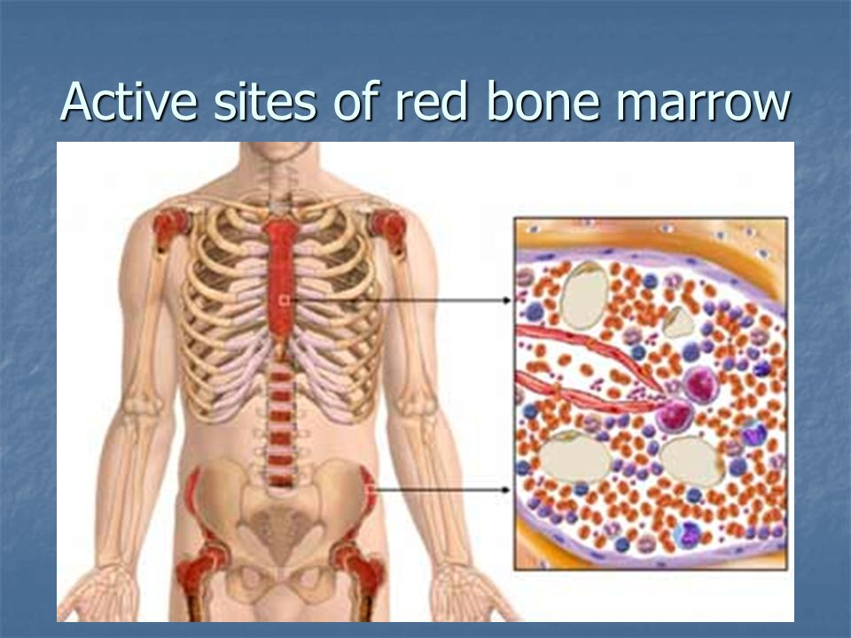 Active sites of red bone marrow