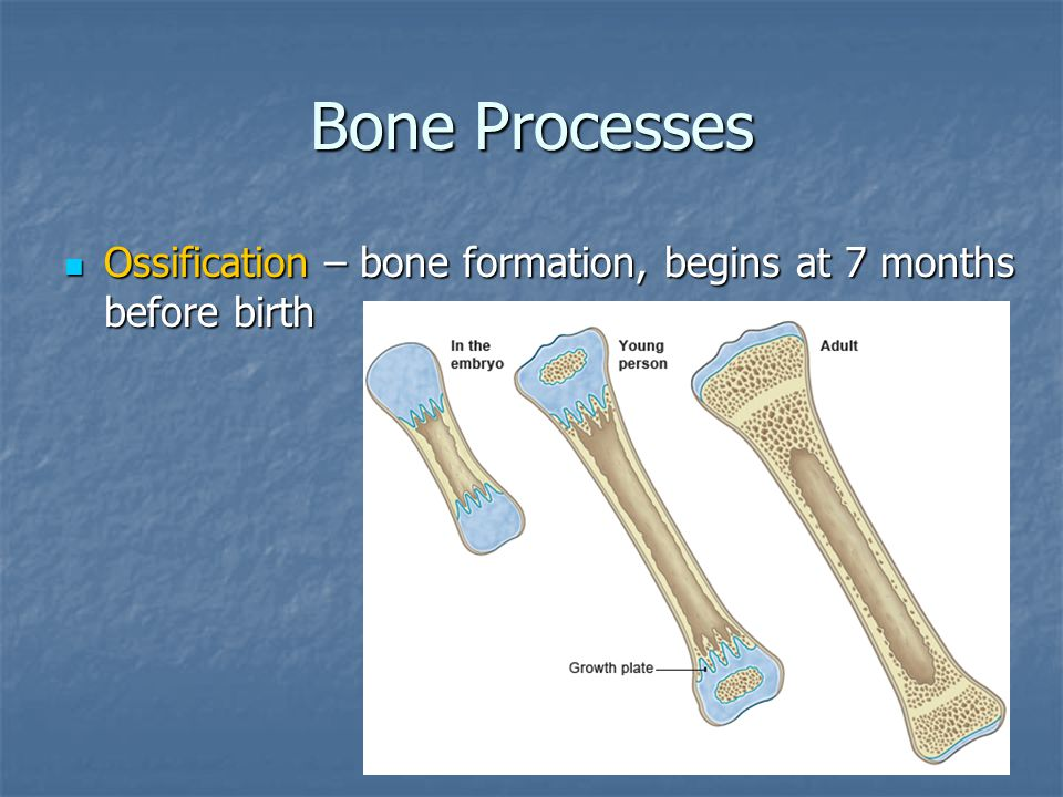 Bone Processes Ossification – bone formation, begins at 7 months before birth