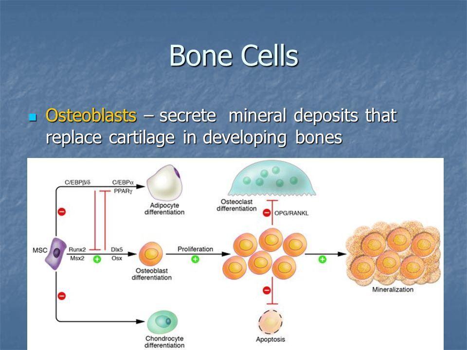 Bone Cells Osteoblasts – secrete mineral deposits that replace cartilage in developing bones
