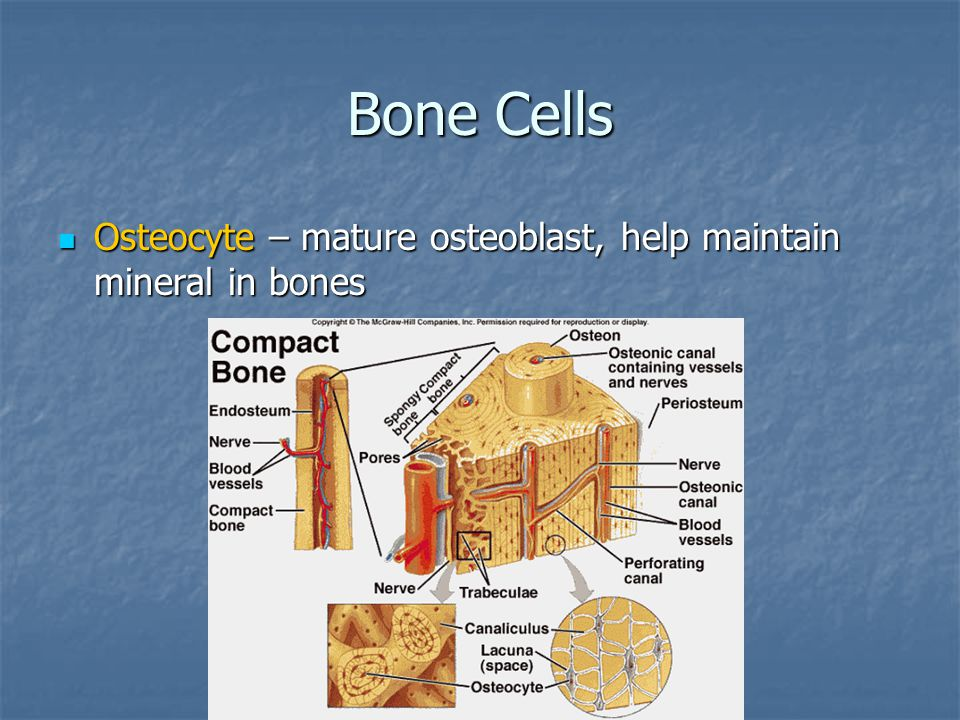 Bone Cells Osteocyte – mature osteoblast, help maintain mineral in bones