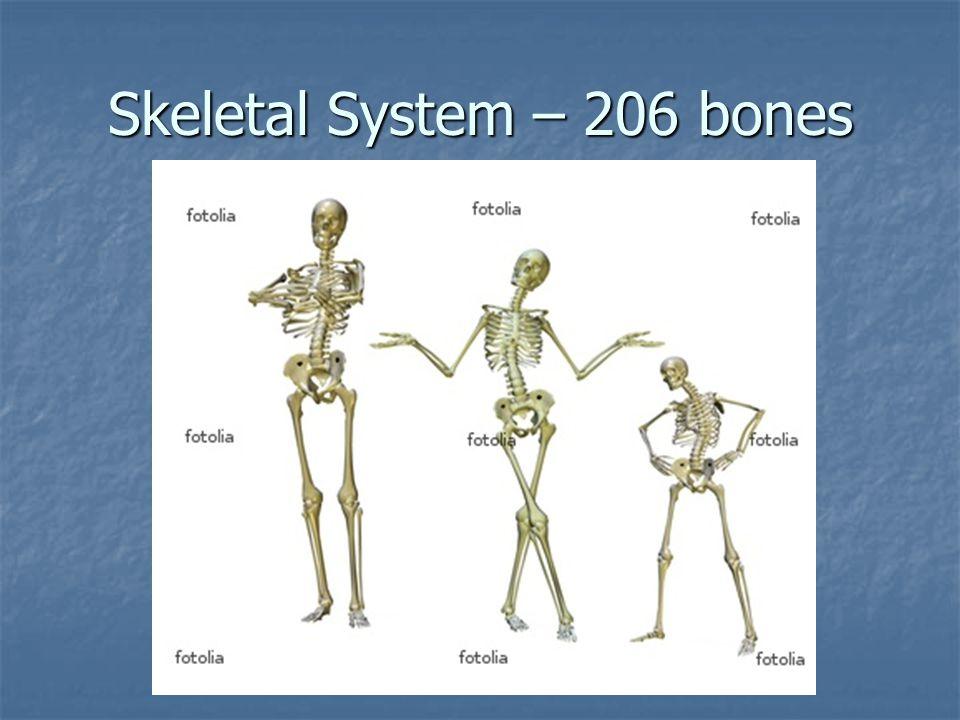 Skeletal System – 206 bones