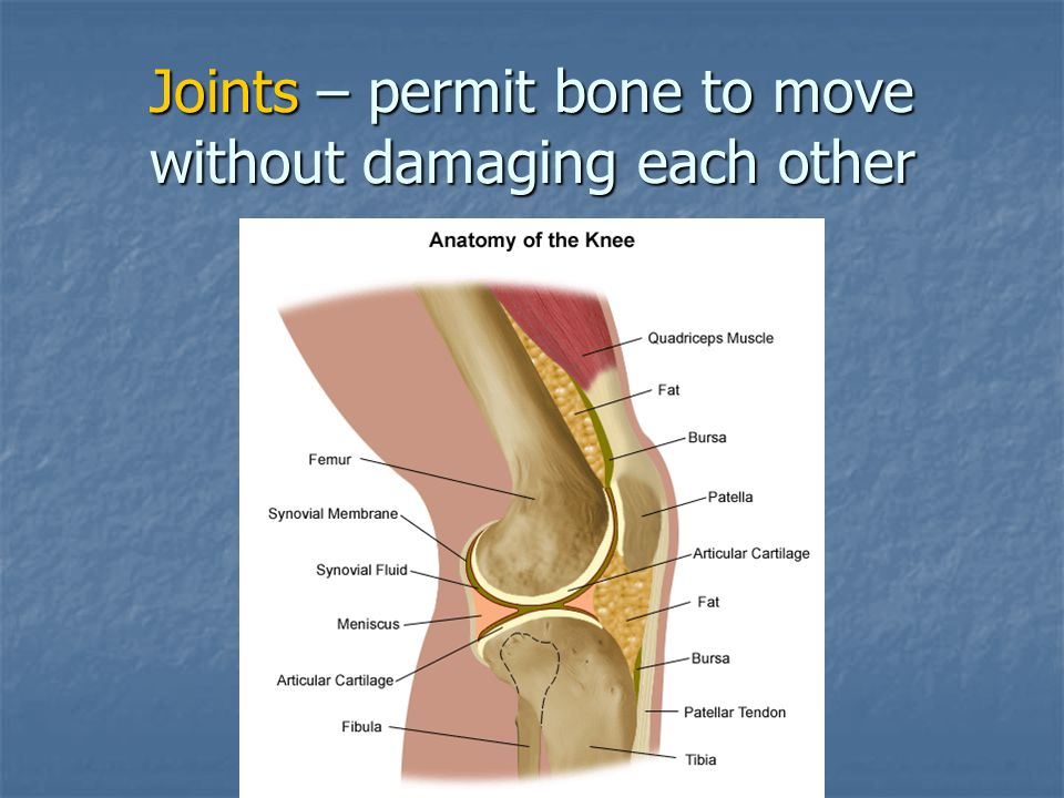 Joints – permit bone to move without damaging each other