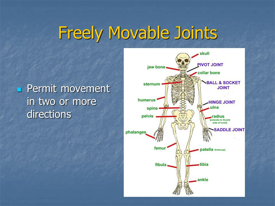 Freely Movable Joints Permit movement in two or more directions