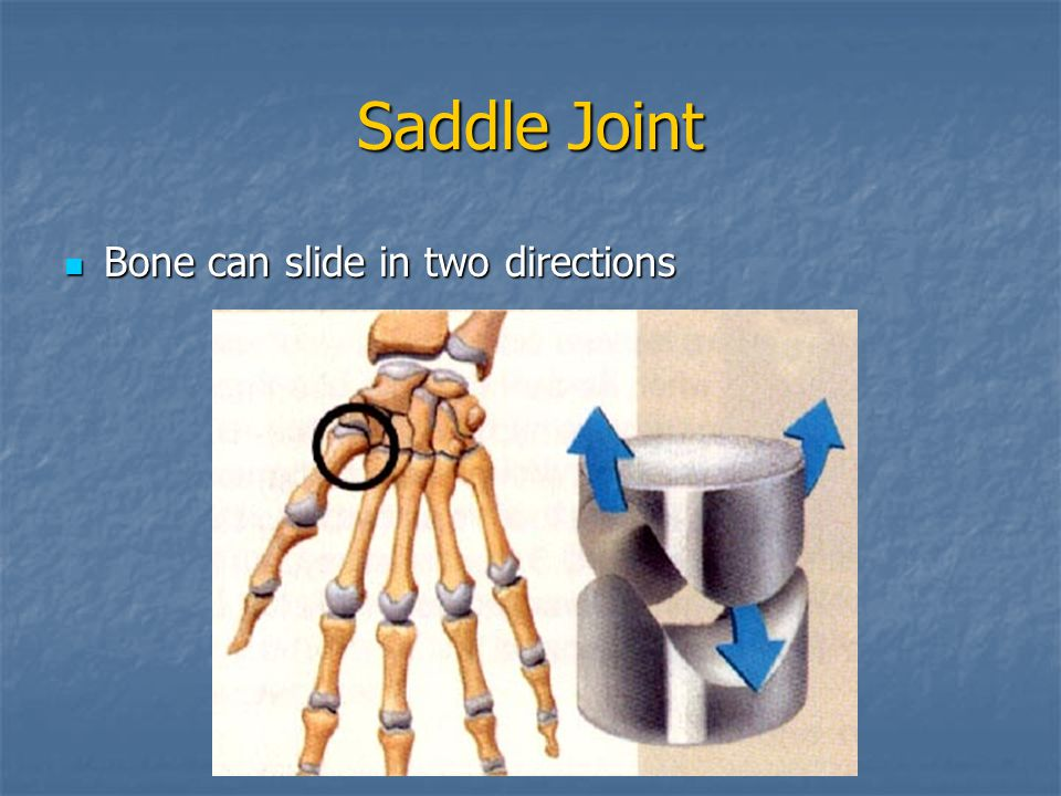 Saddle Joint Bone can slide in two directions