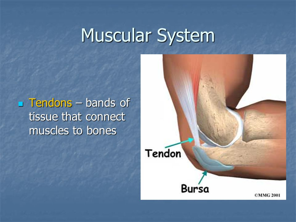 Muscular System Tendons – bands of tissue that connect muscles to bones