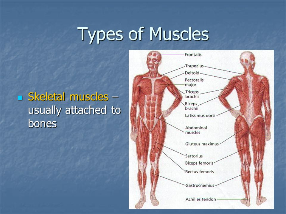 Types of Muscles Skeletal muscles – usually attached to bones