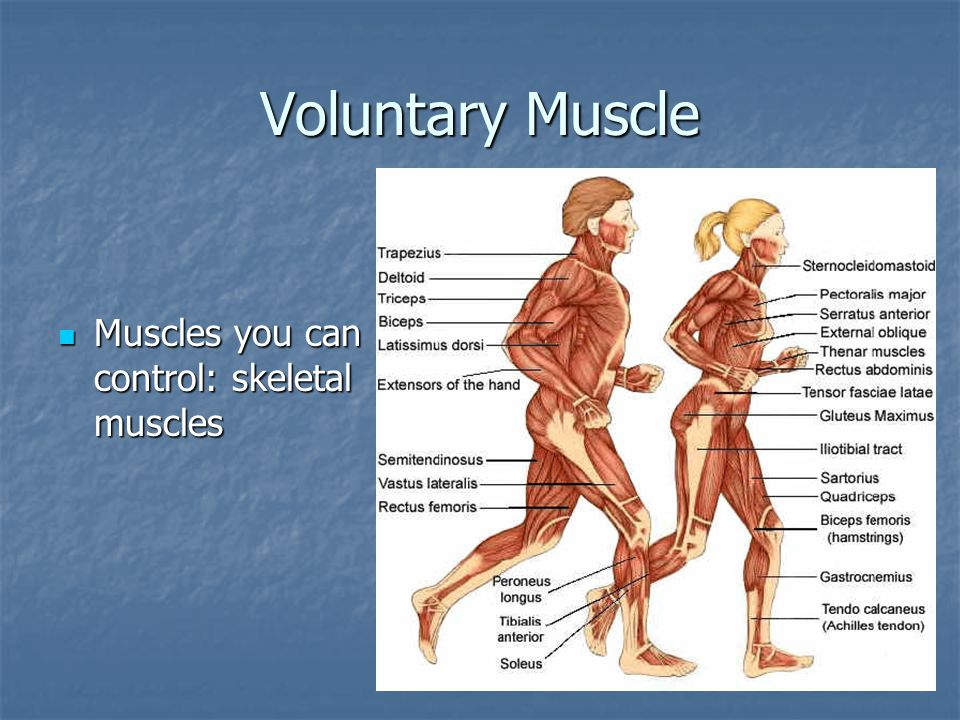 Voluntary Muscle Muscles you can control: skeletal muscles
