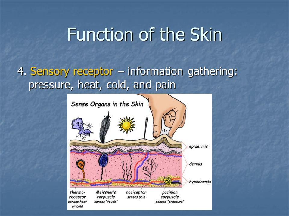 Function of the Skin 4. Sensory receptor – information gathering: pressure, heat, cold, and pain