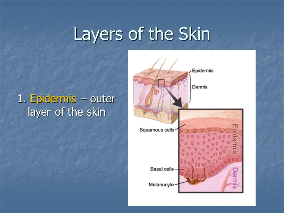 Layers of the Skin 1. Epidermis – outer layer of the skin