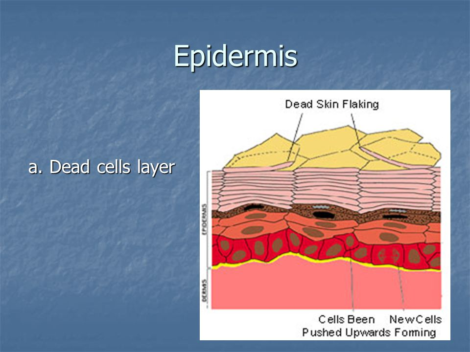 Epidermis a. Dead cells layer