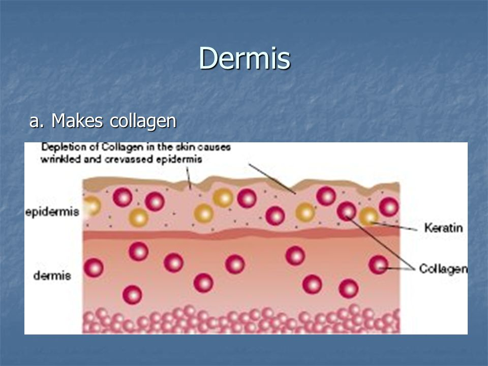 Dermis a. Makes collagen