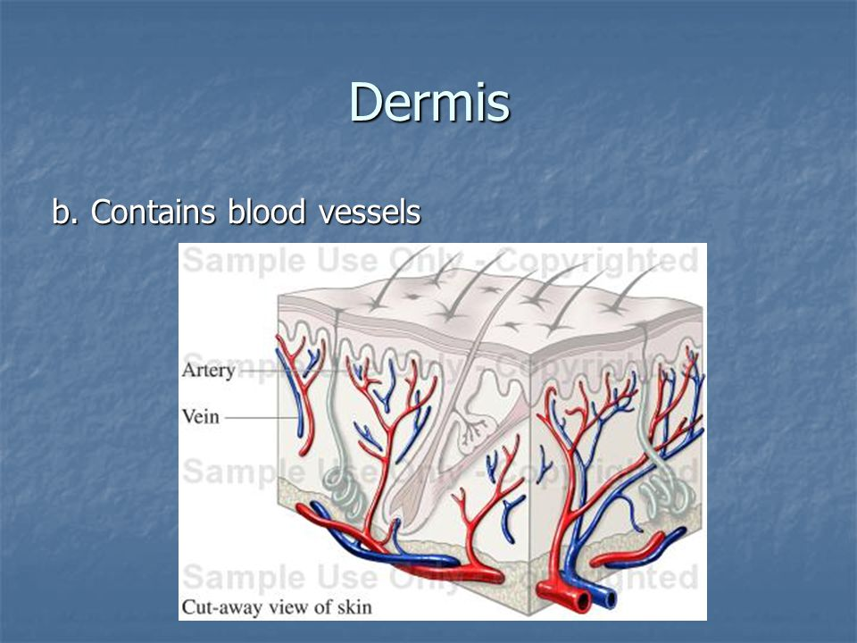 Dermis b. Contains blood vessels