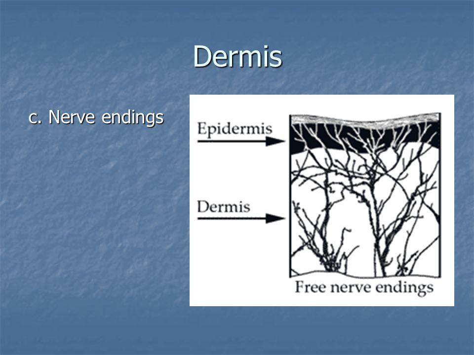 Dermis c. Nerve endings