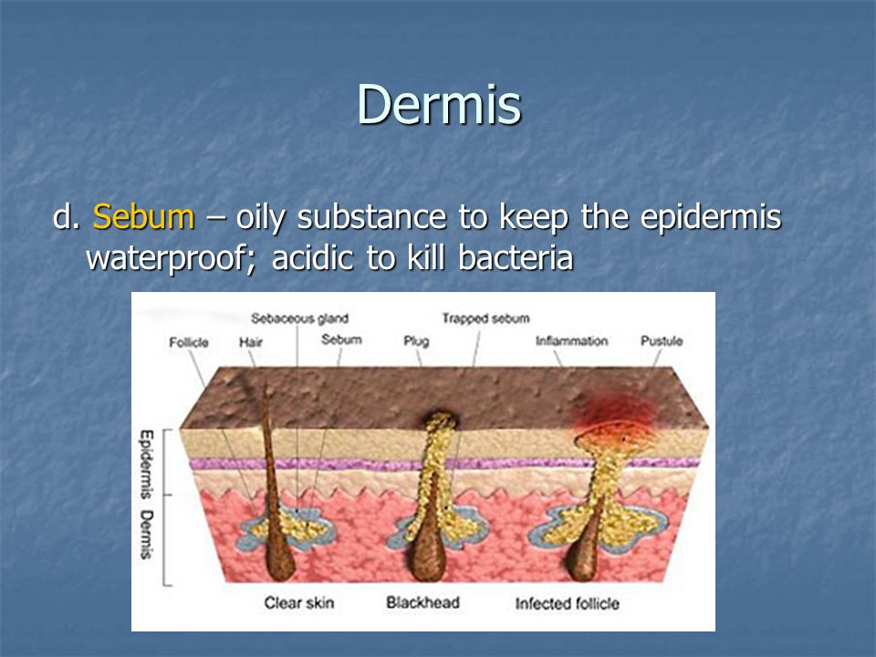 Dermis d. Sebum – oily substance to keep the epidermis waterproof; acidic to kill bacteria