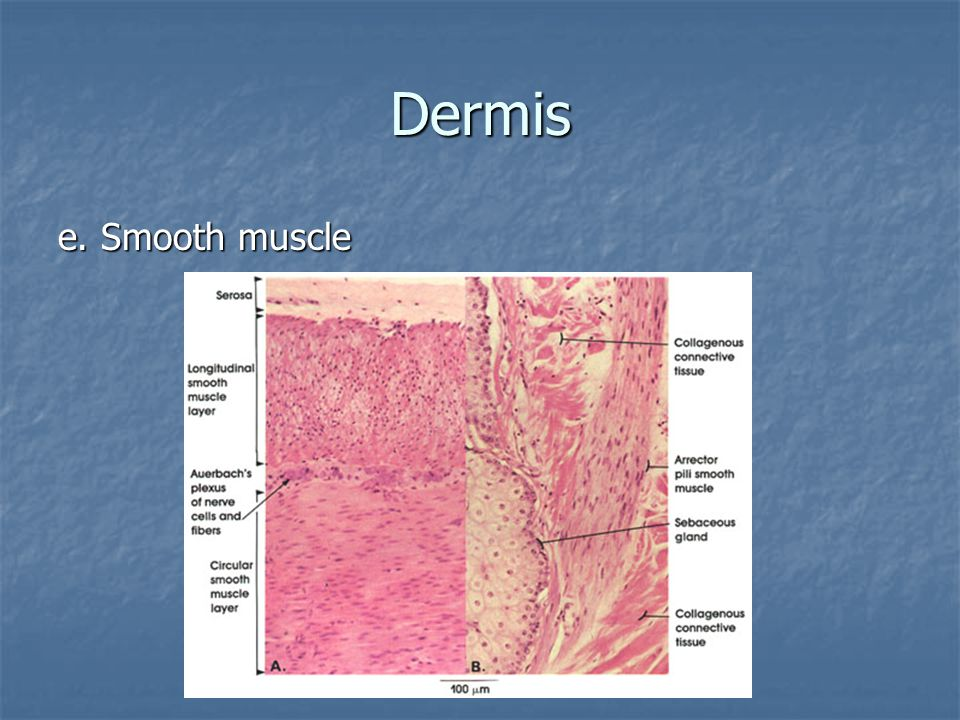 Dermis e. Smooth muscle