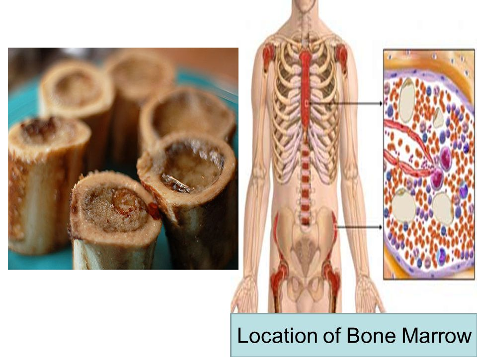 Location of Bone Marrow