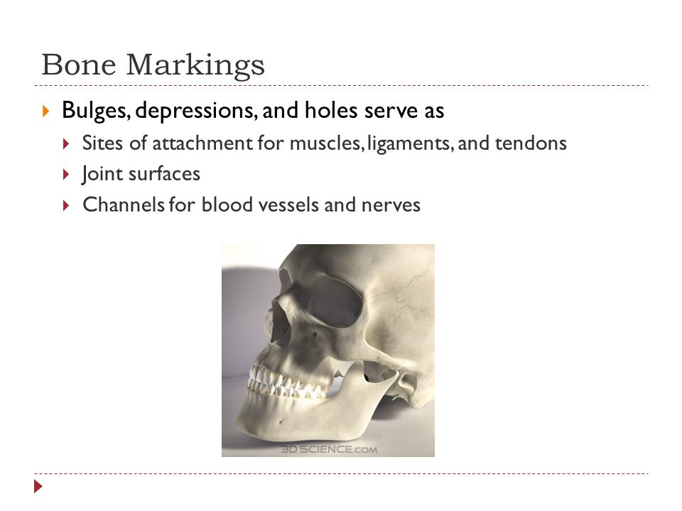 Bone Markings Bulges, depressions, and holes serve as