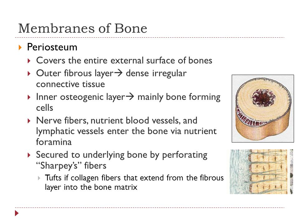 Membranes of Bone Periosteum