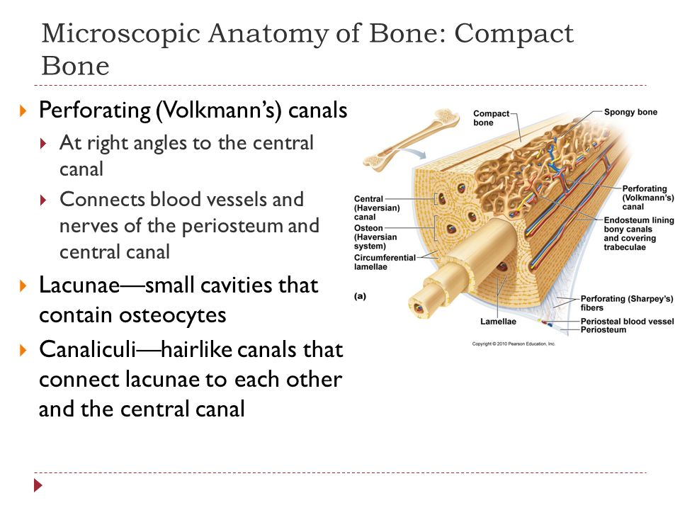 Microscopic Anatomy of Bone: Compact Bone