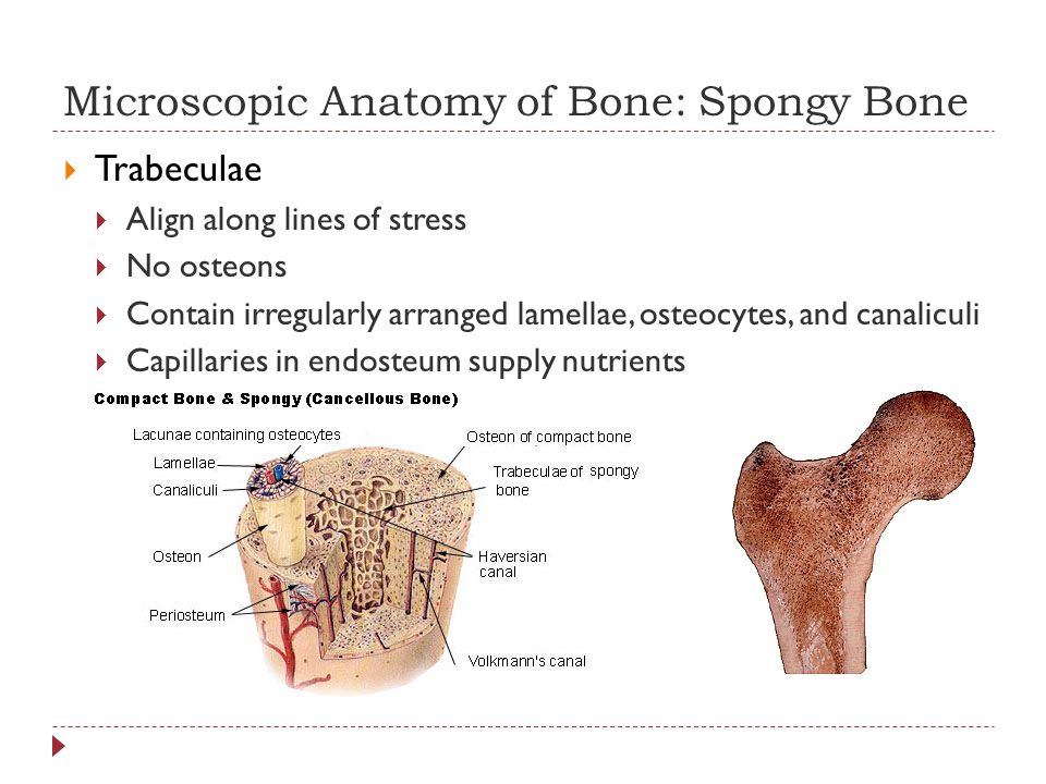 Microscopic Anatomy of Bone: Spongy Bone