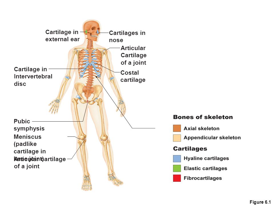 Bones and Skeletal Tissues - ppt video online download
