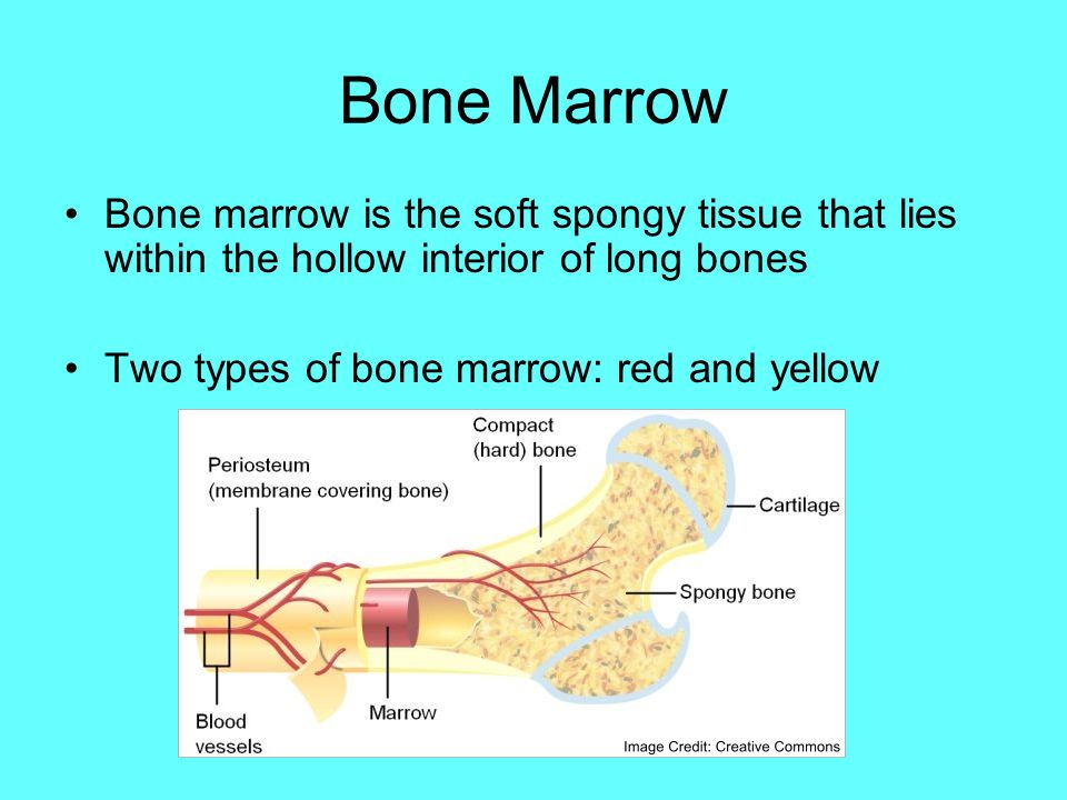 Bone Marrow Bone marrow is the soft spongy tissue that lies within the hollow interior of long bones.