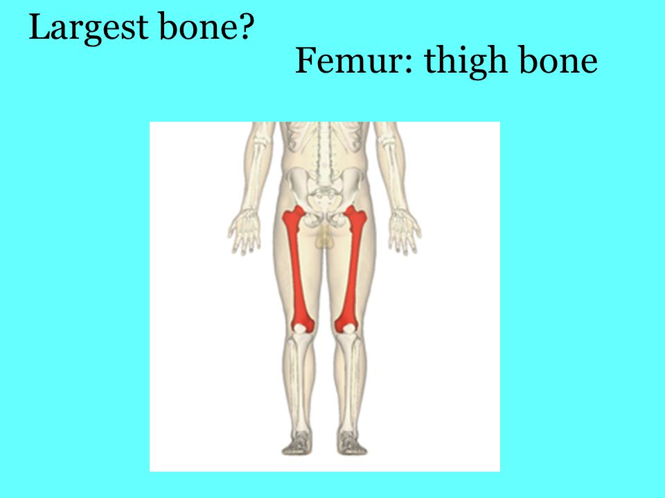 Largest bone Femur: thigh bone