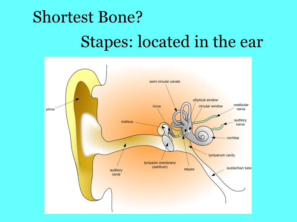 Stapes: located in the ear