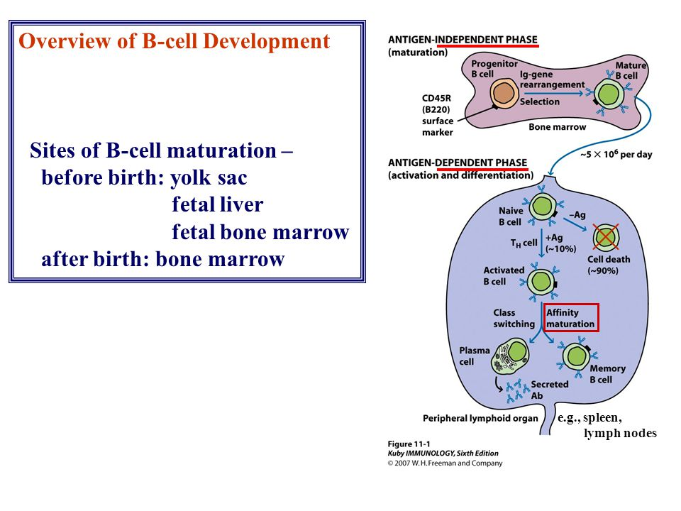 Overview of B-cell Development