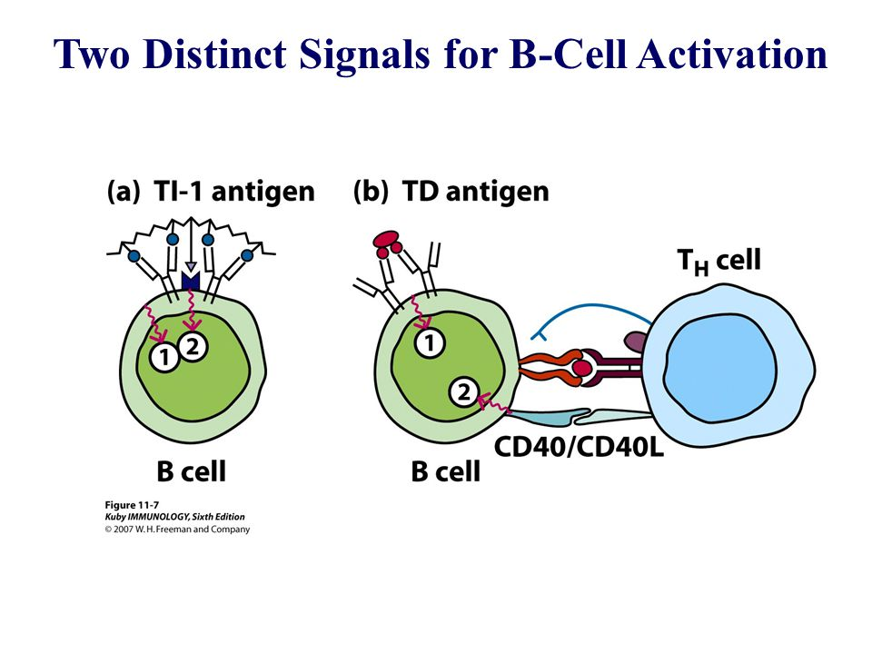 Two Distinct Signals for B-Cell Activation