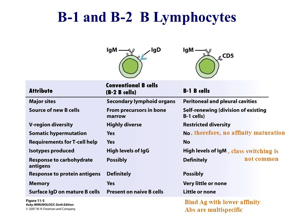 B-1 and B-2 B Lymphocytes , therefore, no affinity maturation