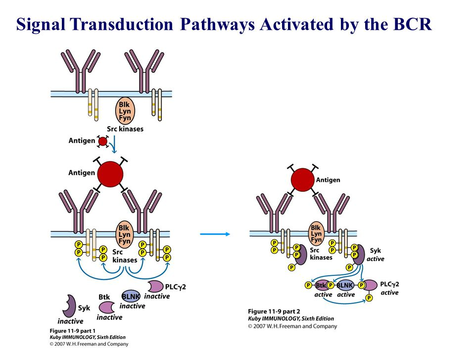 Signal Transduction Pathways Activated by the BCR