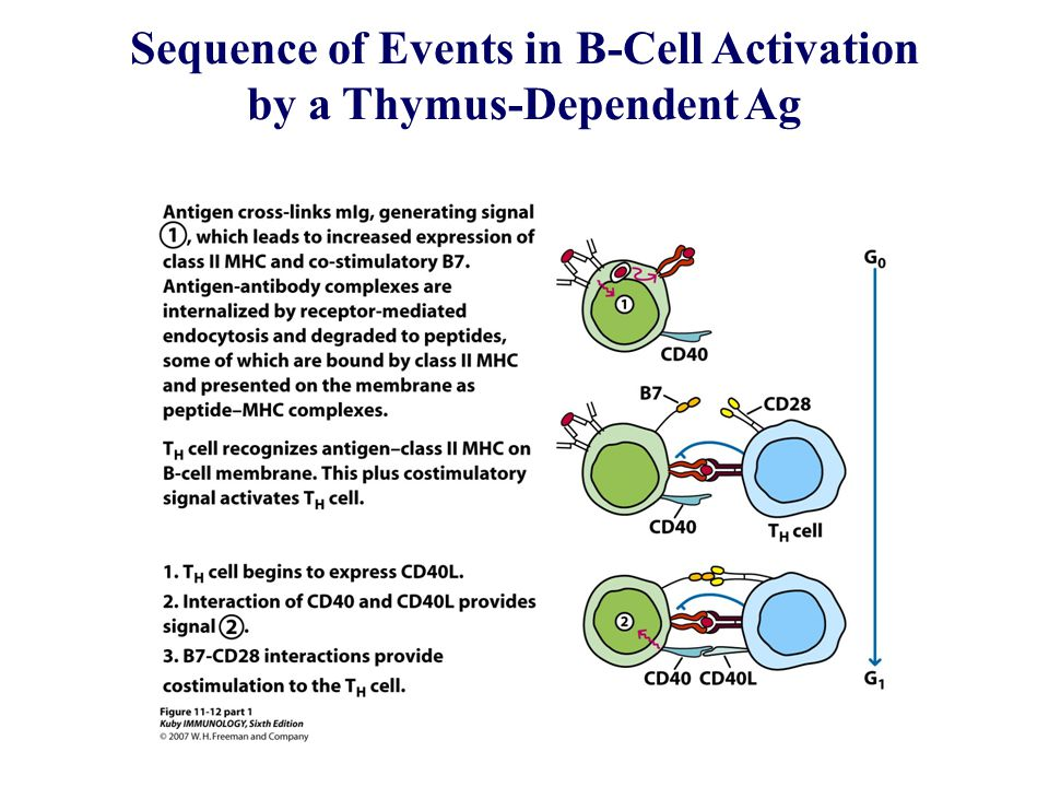 Sequence of Events in B-Cell Activation by a Thymus-Dependent Ag