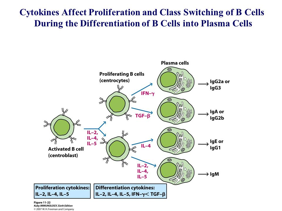 Cytokines Affect Proliferation and Class Switching of B Cells