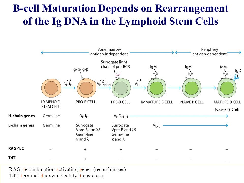 B-cell Maturation Depends on Rearrangement of the Ig DNA in the Lymphoid Stem Cells