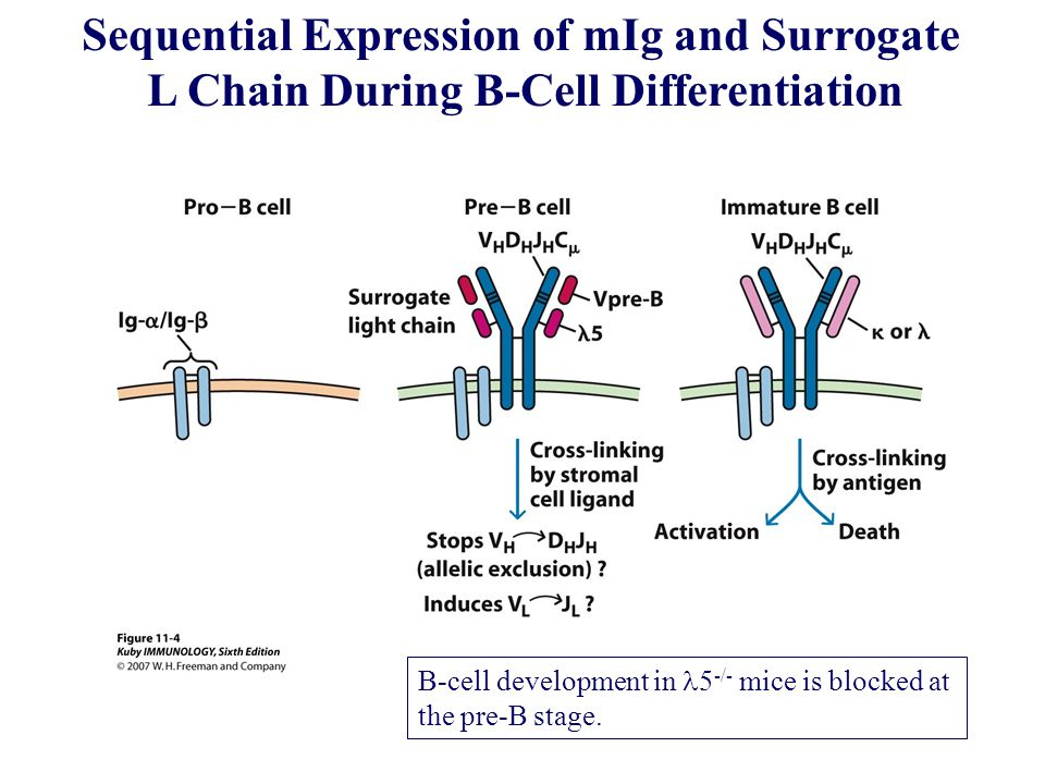 Sequential Expression of mIg and Surrogate