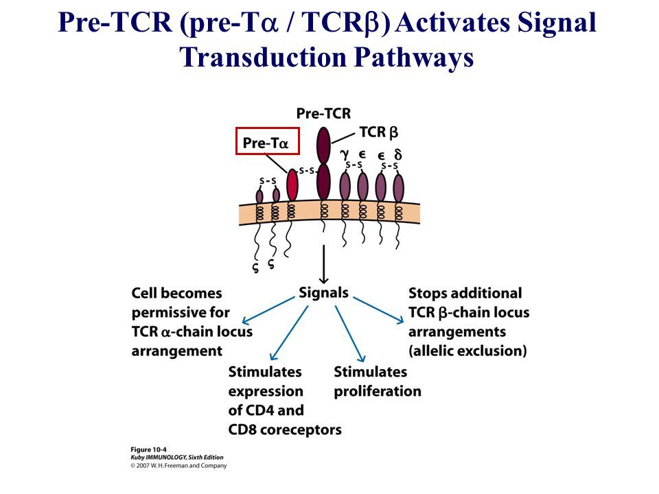Pre-TCR (pre-Ta / TCRb) Activates Signal Transduction Pathways
