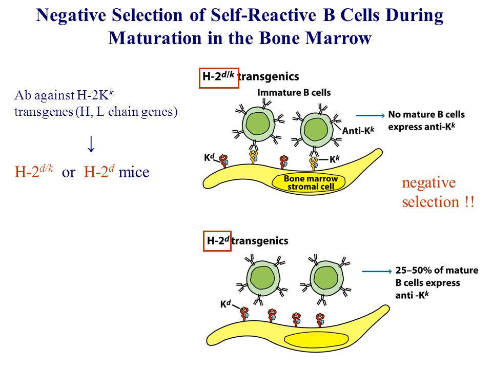 Negative Selection of Self-Reactive B Cells During Maturation in the Bone Marrow